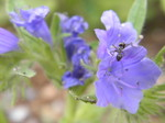 echium_bluebedder